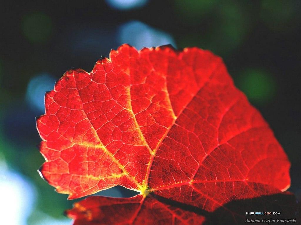 (原创歌词)红叶 作者 百合天使 - 百合天使 - 百合天使的博客